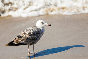 Lonely gull and its shadow on the sand