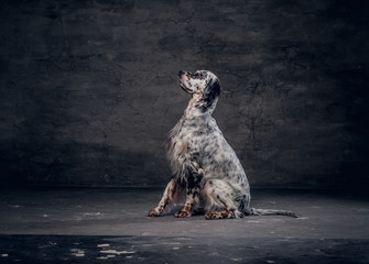 Side view of a purebred English Setter who sitting on a floor in a studio against a dark textured wall
