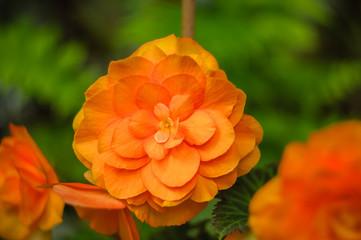 Begonia tuberhybrida orange flower