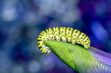 Beautiful   Сaterpillar of swallowtail - Stock Image