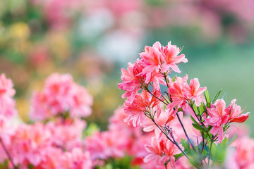 Spoed Fotobehang Azalea Colorful pink yellow white azalea flowers in garden. Blooming bushes of bright azalea at spring sunlight. Nature, spring flowers background