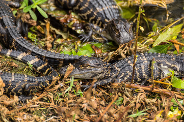 Baby Alligatoren im Sumpf