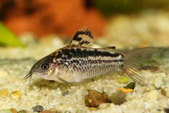 Elegant Corydoras Cory catfish  Aquarium fish