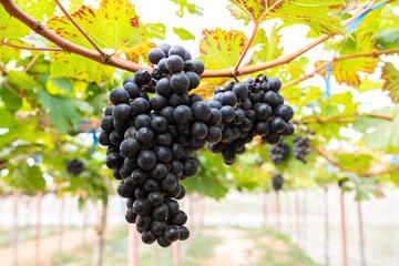 Ripe grapes on old vine, lush green leaves in vineyard