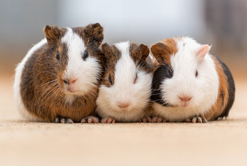 Three guinea pigs on the cement pavement