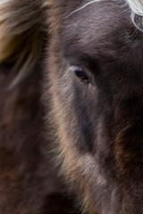 Spoed Fotobehang Wolf Icelandic horses, Iceland, Europe