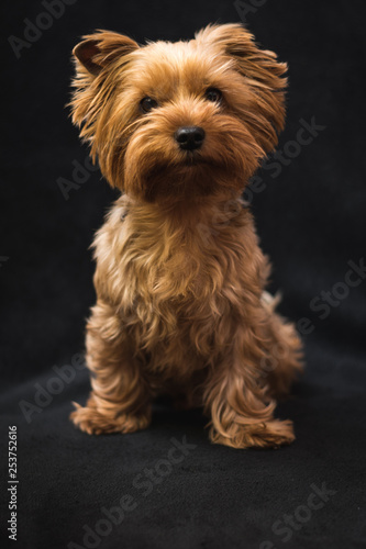 dog, yorkshire terrier, on a black background