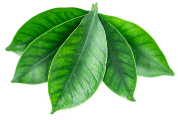 Cocoa leaves on a white background. Clipping path.