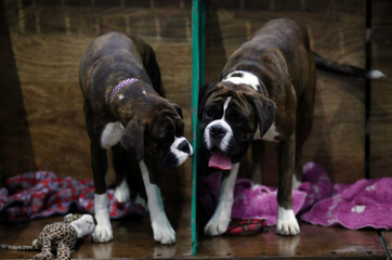 Boxers stand on their benches during the second day of the Crufts Dog Show in Birmingham