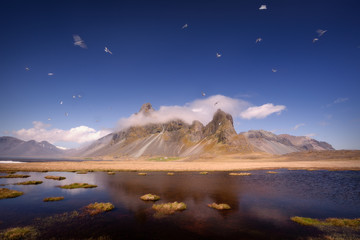 Arctic terns near Eystrahorn mount in Iceland in a region called Lon