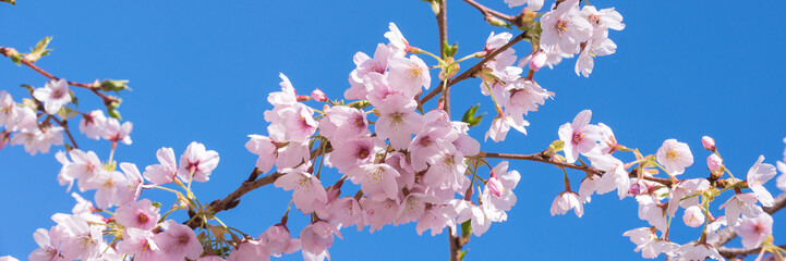 Pink spring cherry blossom, blue sky panoramic background Wall mural