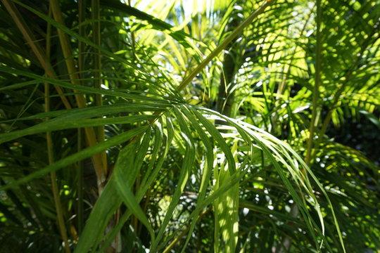 Babassu (Attalea speciosa) in forest,Background.