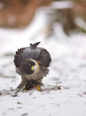View of a peregrine falcon standing on the snow shaking with its head in the witnter forest