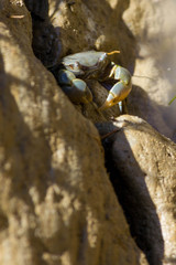 Crab in Stone close up in New Zealand, south island