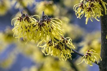 Fototapeta ozdobny krzew oczar wirginijski obraz
