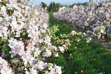 Apple garden blossom