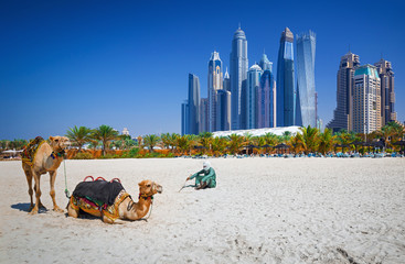 Foto op Plexiglas Kameel The camels on Jumeirah beach and skyscrapers in the backround in Dubai, Dubai, United Arab Emirates