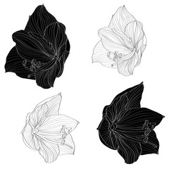 Decorative amaryllis lilies line black and white flowers set, design elements. Can be used for cards, invitations, banners, posters, print design.