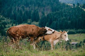 Two funny spotted cows playing sex games on pasture in highland  in summer day. Cattle mating on field with beautiful landscape view at mountains and forest on background.  Animal mating habits.