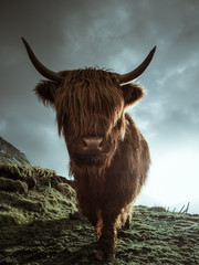 Close up of a Highland cow at eye level