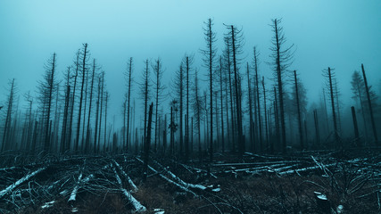 Skeletal tree trunks after forest fire