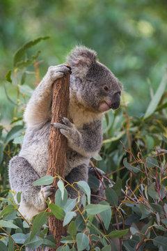 Australia, Brisbane, Lone Pine Koala Sanctuary, portrait of koala clutching tree trunk