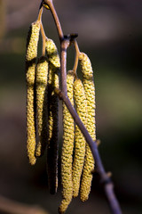 European hazel  (Corylus avellana) flower.