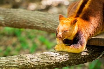 Goodfellow's Tree-kangaroo