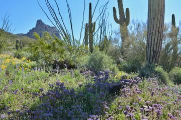 Acrylic Prints Olive Picacho Peak Wildflowers Spring Arizona State Park Purple Lupine Desert
