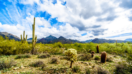 Hiking on the hiking trails surrounded by Saguaro, Cholla and other Cacti in the semi desert landscape of the McDowell Mountain Range near Scottsdale, Arizona, United States of America