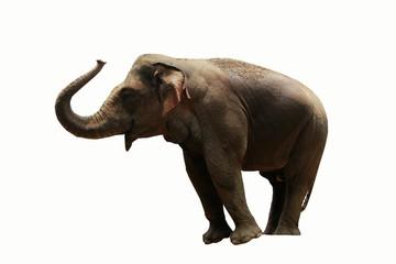 Sumatran elephant isolated on white background