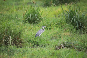 Heron surrounded by green grass in Amboseli National Park
