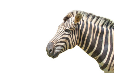 Zebra isolated on white background of file with Clipping Path .