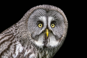 A half length portrait of a great grey gray owl looking staright at the camera with big yellow eyes against a black background Fototapete