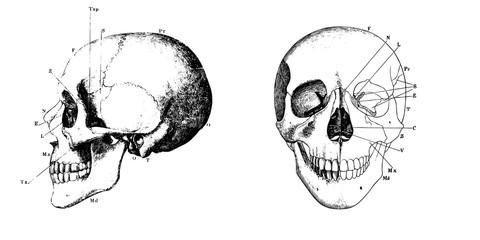 Vector vintage engraving human skull anatomy