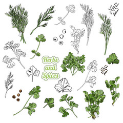 Collection of different bundles of herbs with leaves, spices. Hand drawn monochrome and colored sketch isolated on white background.