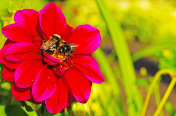Two bees collecting pollen on a purple Dahlia flower