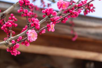 梅の木/北野天満宮/京都市
