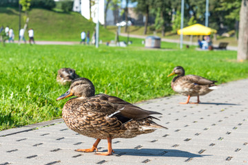 A duck standing on a walkway in the park on a summer sunny day.