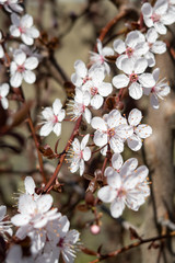 Wild cherry blossoms on a tree