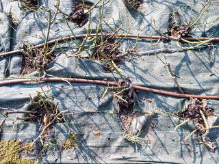 trimmed rose bushes covered by protected fabric