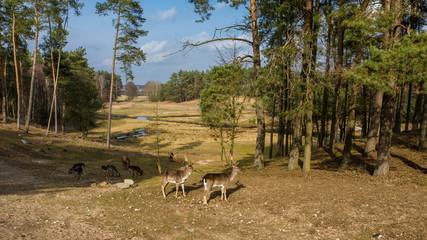 Herd of deer in the spring forest