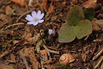 Leberblümchen (Hepatica nobilis) mit Schnirkelschnecke