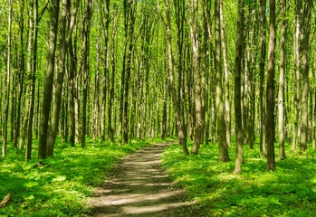 Wall Mural - Green forest and the path