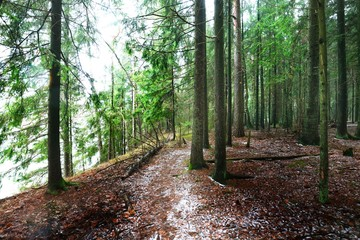 Winter country landscape. White mist in the forest. Pine trees and pure morning light. Forest walkway. Germany