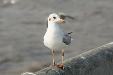 Seagull portrait against sea shore, White bird seagull sitting by the beach