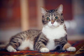 Striped cat with white paws, lies on a carpet.