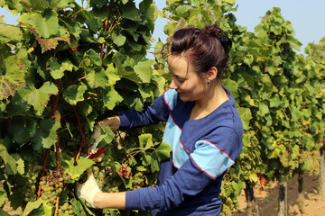 Young woman harvesting grapes