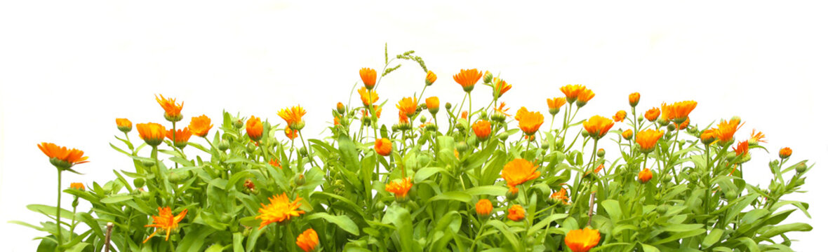 Orange Calendula officinalis growing isolated on white background. Blooming herbal plant marigold garden flowers.