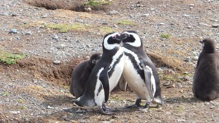 pinguini di magellano isola magdalena patagonia sud ameririca cile